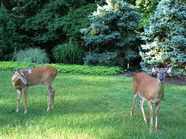 У Цинциннаті запускається програма по зменшенню чисельності білохвостих оленів.