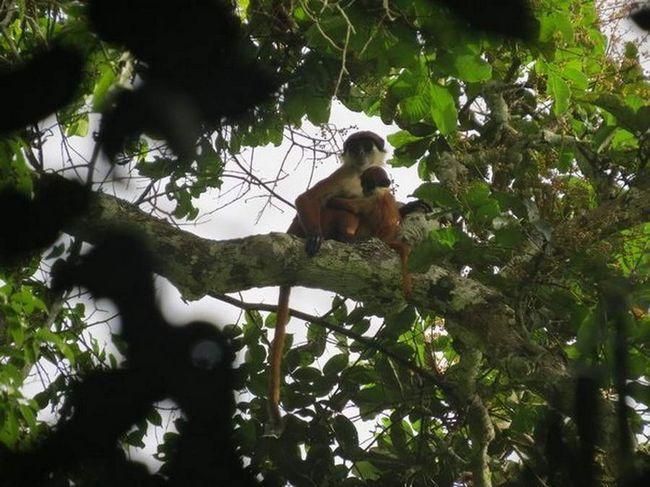 Червоний колобус Був`є, виявлений в Конго.