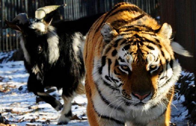 Про дружбу козла Тимура і тигра Амура збираються зняти спектакль.