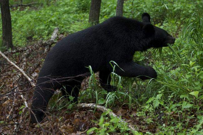 На околиці Хабаровська бродить гімалайський ведмідь.