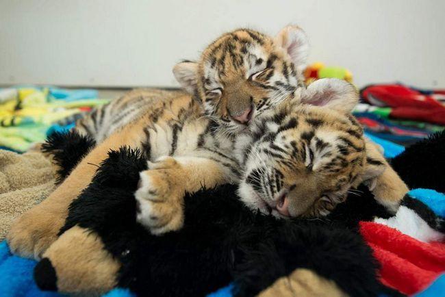 В Індії народилося відразу кілька бенгальських тигренят.