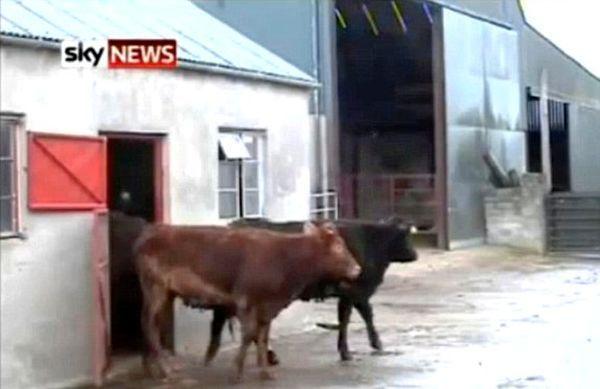 В Ірландії живе надзвичайно розумна корова