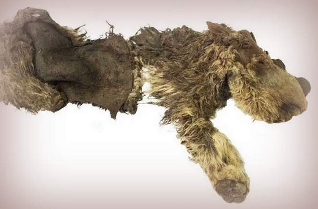 Дитинча шерстистого носорога помер 34000 років тому.