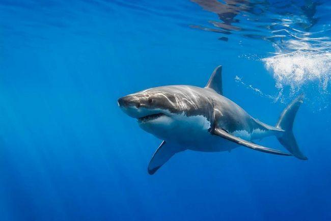 Біла акула померла в акваріумі.
