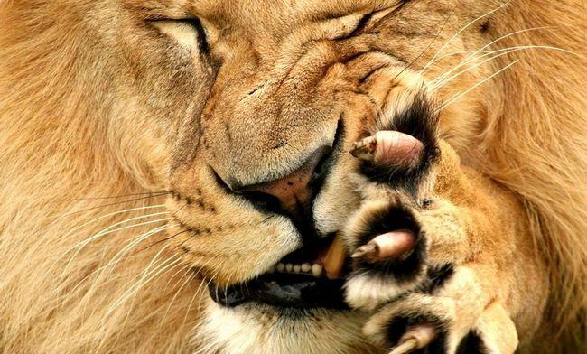 Милуючись левами не слід забувати про те, що ці тварини є хижаками, які можуть харчуватися і нашими далекими родичами - мавпами.