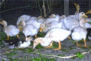 Зміст і годування качок
