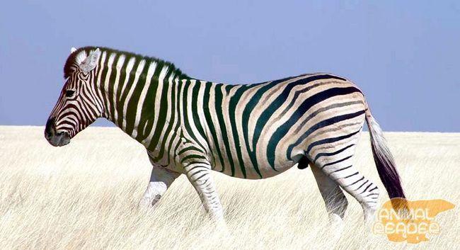 Зебра в пустелі