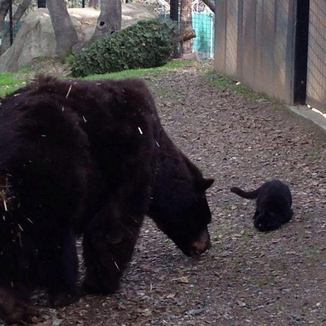 Каліфорнійська кішка подружилася з ведмедем.