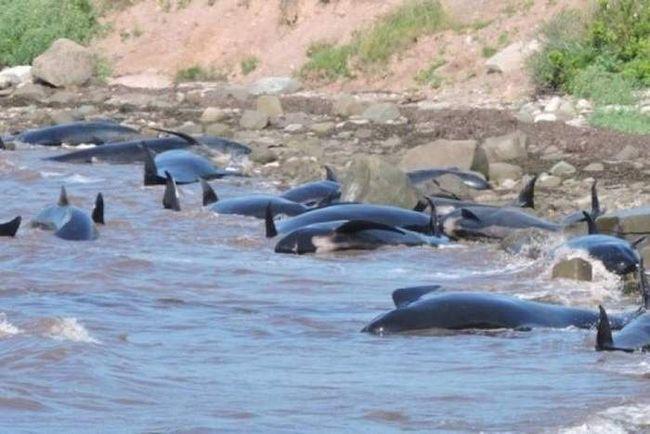 16 дельфінів викинулися на узбережжі Канади.