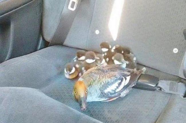 У Канаді таксист підвіз сімейство качок.