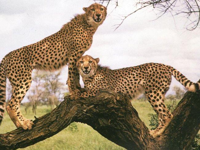Серед мешканців нової частини зооботанічному саду будуть і найшвидші кішки світу - гепарди.