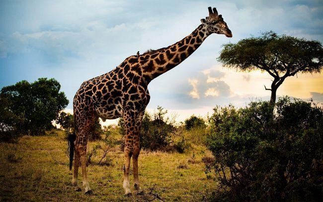 Компанію гепардам, бегемотам і іншим екзотичним тваринам складе і найвища тварина світу - жираф.