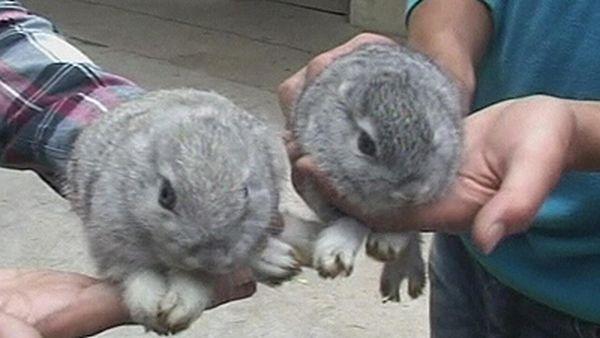 У Китаї кролиця народила безвухих кроликів