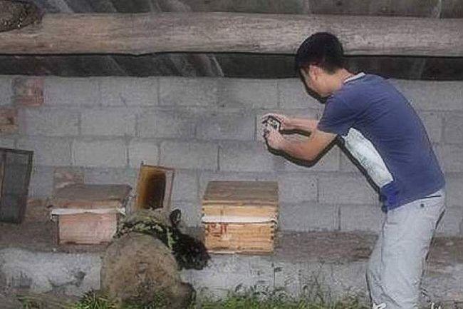 Панда-злодій, яка розорила пасіку.