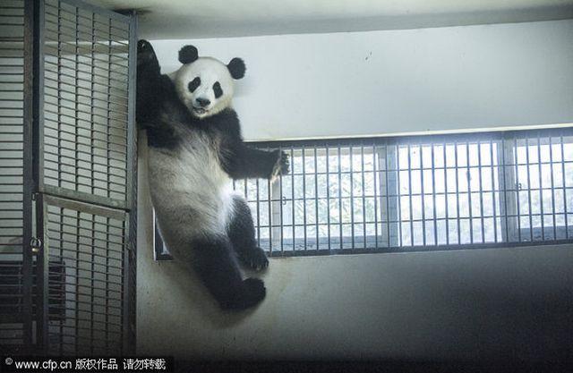 В китаї панди знемагають від спеки