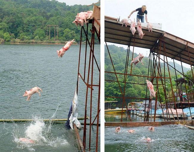 В китаї пройшов заплив свинок