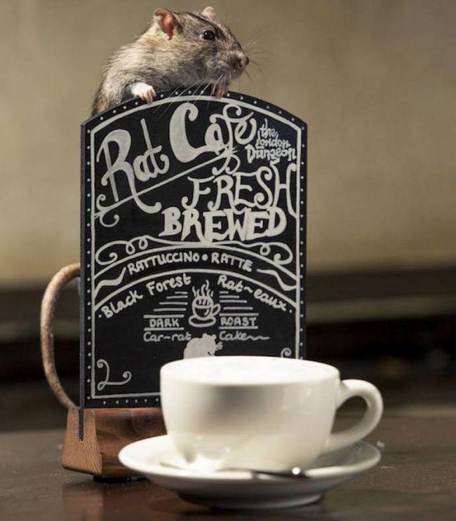 В лондоні відкрилася кав`ярня з щурами