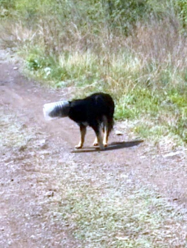 Собака, майже місяць носила банку на голові.