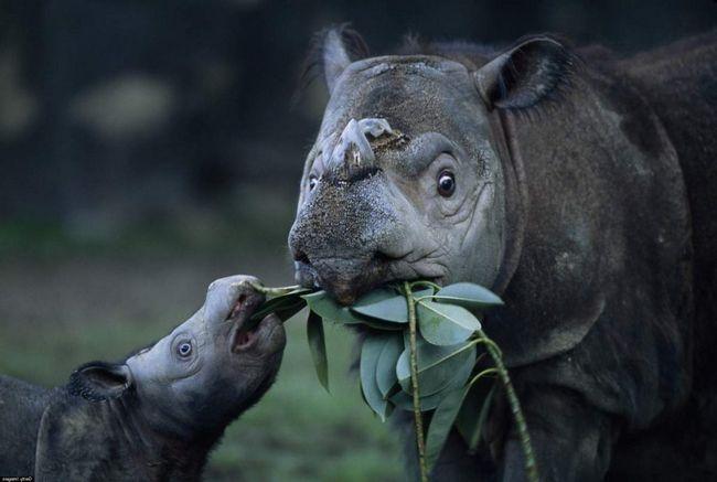Суматранскіе носороги знаходяться під загрозою вимирання.