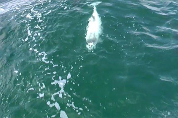 У водах німеччини вперше помітили білу морську свиню