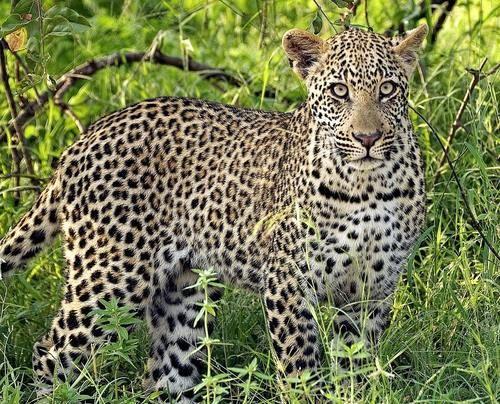 Леопард, або пантера (Panthera pardus).