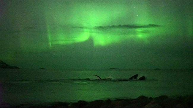 Горбаті кити і північне сяйво.