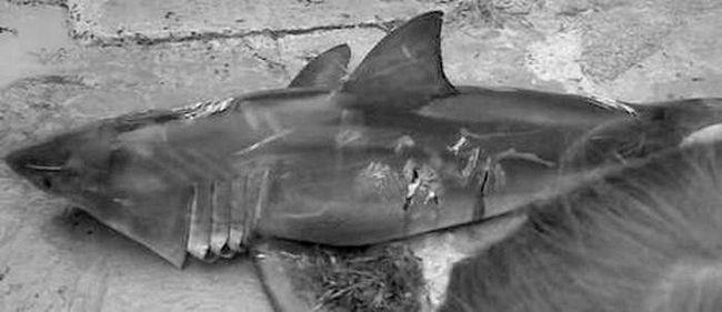 У Новій Зеландії вбили акулу, плаваючу поблизу пляжу.