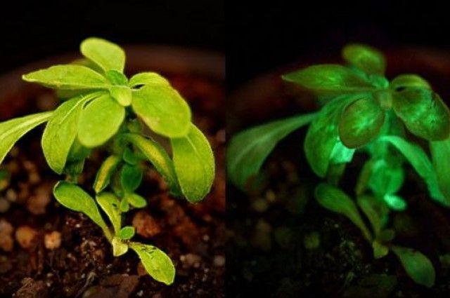 В один прекрасний день ми зможемо читати при світлі кімнатних рослин