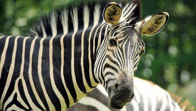 Зебра стала обідом для тигрів в зоопарку Норвегії.