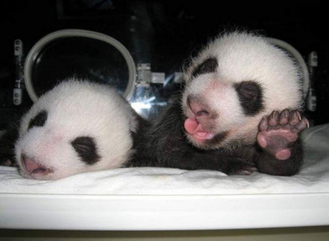 У Китаї народилися панди-близнюки.