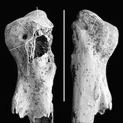 У печері хоббітів знайдений гігантський лелека
