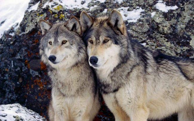 Вовки повернулися до Польщі, через 50 років.