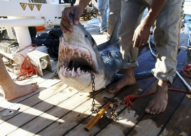 акула-людожер
