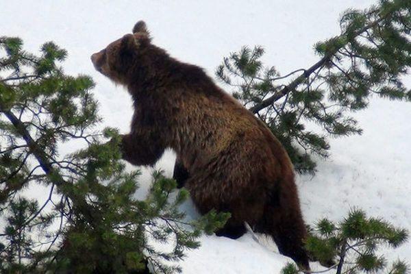 У швейцарії вбили єдиного в країні ведмедя