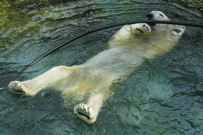 У США приспали найстарішого білого ведмедя.