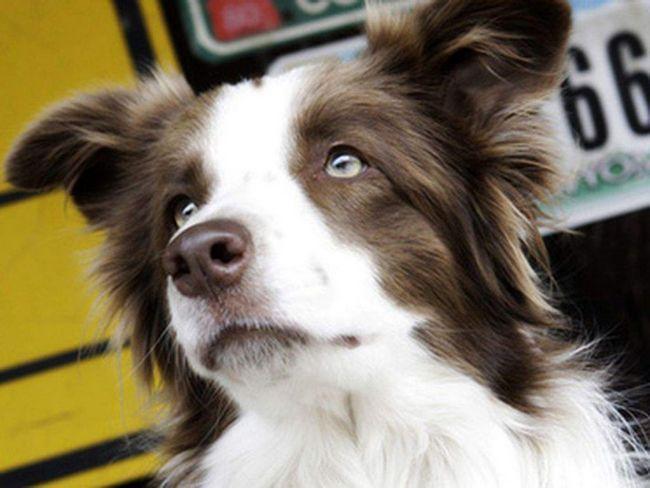 Собака-мер хоче стати Президентом США.