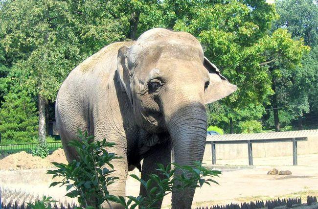 Слон вбив туриста.