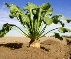 У тернополськой області триває збирання цукрового буряку і гречки
