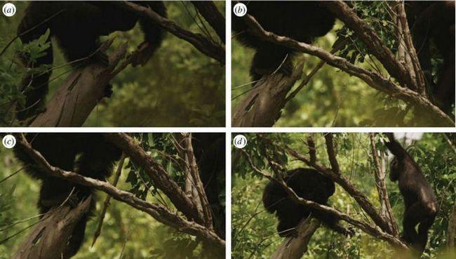 В унікальній популяції шимпанзе серед самок усталилася мода на списи
