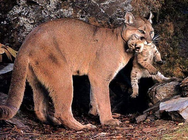 Самка канадської, або східної пуми (Puma concolor couguar) народила кошенят в зоопарку Барнаула вперше за весь час перебування там.