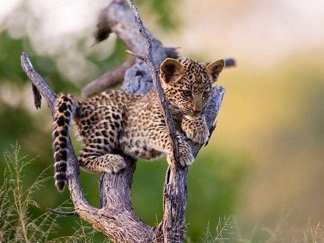 В одному із зоопарків антилопа вигодувала дитинча леопарда.