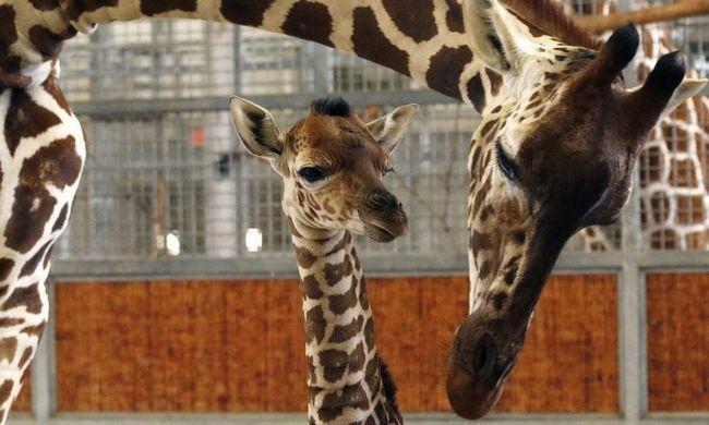 Помер дитинча жирафа.