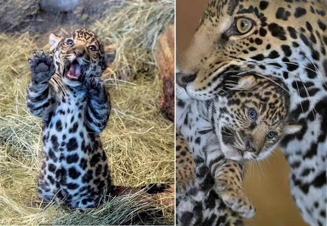 У Майамі показали малюка димчастого леопарда.