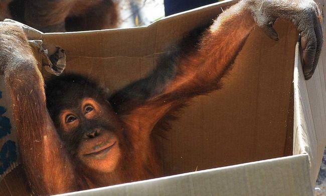 Орангутан втік з вольєру в Мельбурнському зоопарку.