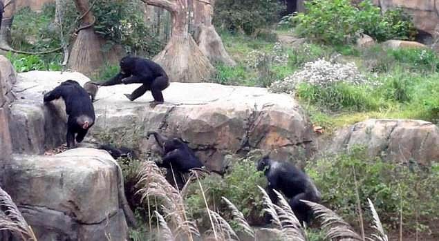 У зоопарку Сент-Луїса шимпанзе відлупцювали єнота