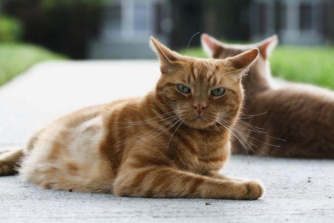 Вакдерм для кішок: інструкція із застосування