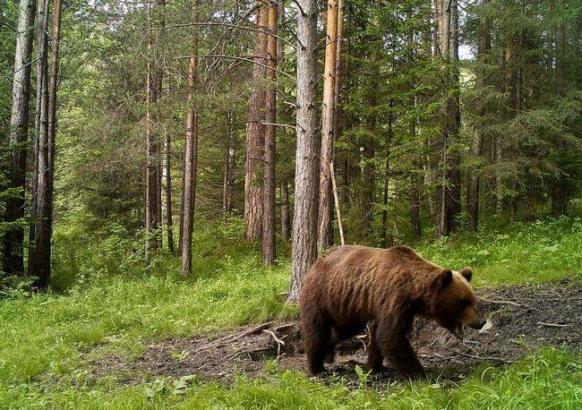 Бурий ведмідь - господар лісу і житель національного парку Валдайській.