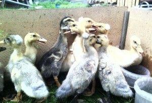 Вирощування качок в домашньому господарстві