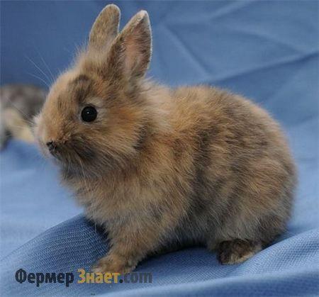 Кролик сірий, декоративний