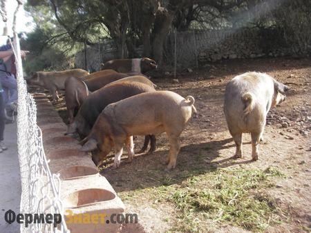 Свині пасуться